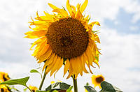Семена подсолнечника гибрид Гусляр