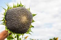 Семена подсолнечника гибрид Базальт