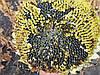 Семена подсолнечника БЕНЕТО, Высокоурожайный гибрид БЕНЕТО устойчивый к шести расам A-F.