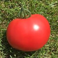 Малинка Стар F1 500 шт. семена томата высокорослого розового Cora seeds Италия