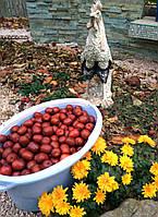 Свежие плоды унаби, фото 1