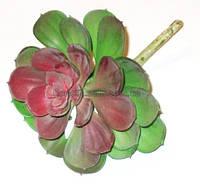 Суккулент Эхеверия 13 см, бордово-зеленая