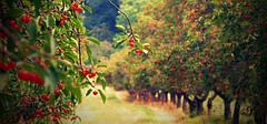 Как лучше размещать плодовые деревья и ягодники!