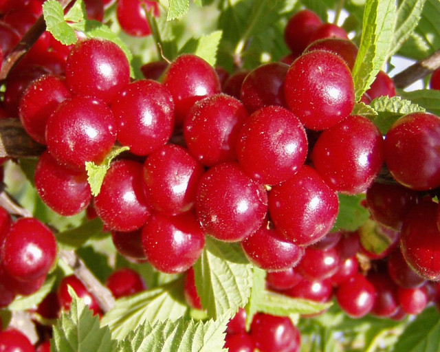 Привлекательность войлочной вишни