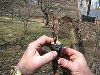Перепрививка деревьев