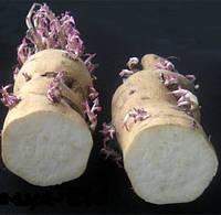 Маточный клубень Батата Белый НБС слабо сладкий столовый сорт рассыпчатый высокоурожайный лежкий