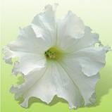 Семена петуния Ямамото 250 шт. Kitano Seeds, фото 2
