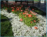 Семена алиссум (Lobularia) Персона 500 шт Kitano Seeds, фото 2