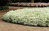 Семена алиссум (Lobularia) Персона 500 шт Kitano Seeds, фото 3