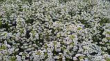 Семена алиссум (Lobularia) Персона 500 шт Kitano Seeds, фото 4