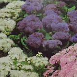 Семена агератума Принц 250 шт Kitano Seeds, фото 2