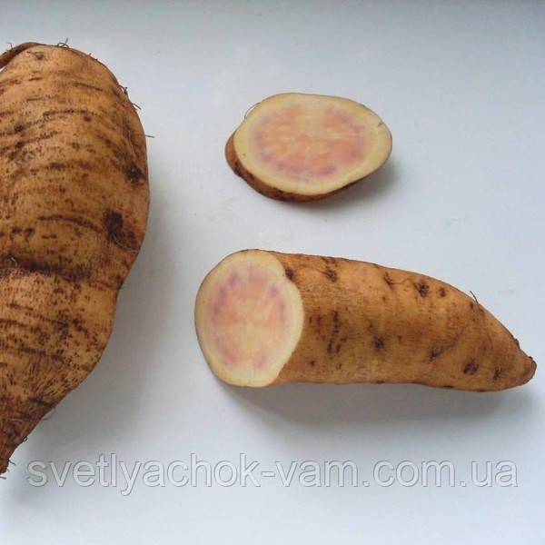 Маточный клубень Батат Джорджия Рэд компактный урожайный сладкий великолепный
