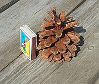 Шишки сосны королевской большие, 3 шт, в-7-8 см, 15