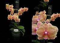 Подростки орхидеи. Сорт Phal. Little apple, размер 1.7