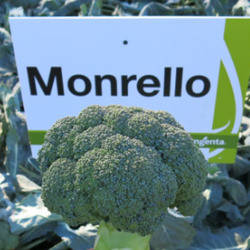 Семена Монрелло F1 — среднеспелая капуста брокколи, 2500 семян, фото 2