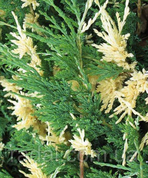 Можжевельник горизонтальный Андорра Вариегата P9 (Juniperus horizontalis Andorra Variegata )
