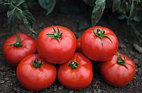 Томск F1 - семена томата, Bejo - 1 000 семян