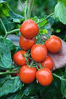 Семена томата Ричи F1, Bejo 5 грамм | профессиональные, фото 1