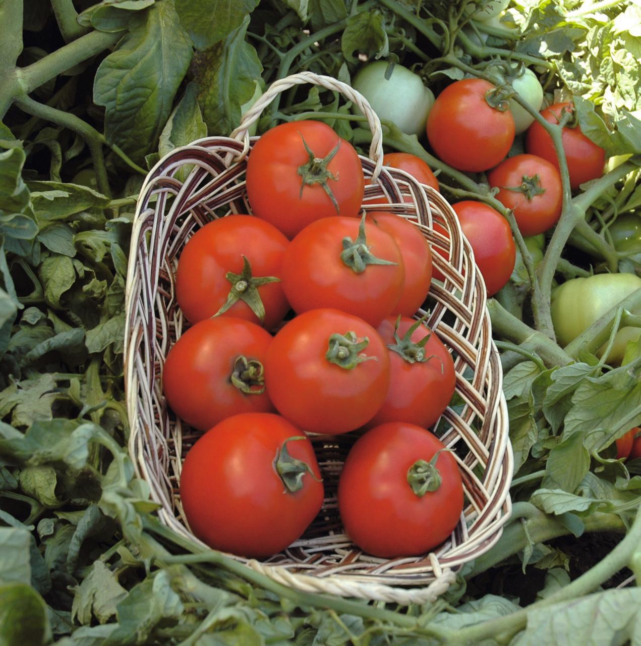 Семена томата Полбиг F1, Bejo 5 грамм | профессиональные