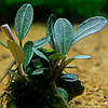Буцефаландра / Bucephalandra sp. Brownie metallica, отросток 5 листов.