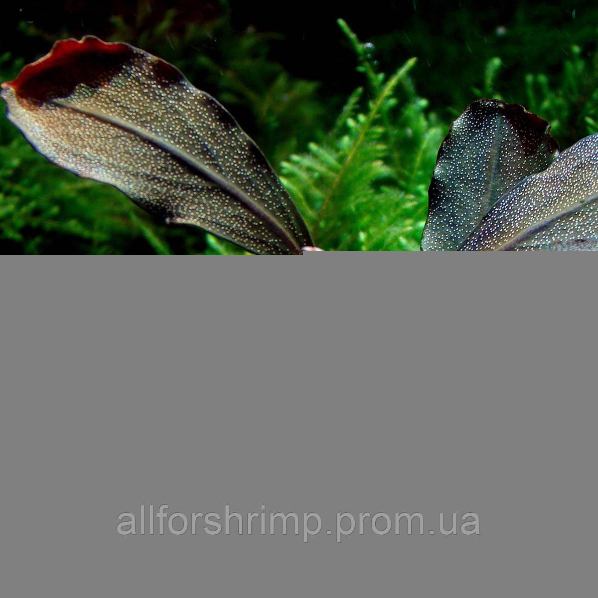 Буцефаландра / Bucephalandra sp. Kir Royale, отросток 5 листов.