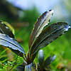 Буцефаландра / Bucephalandra sp. Gladius, отросток 5 листов.