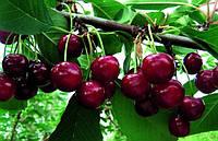 Солидарность, Solidarnost' ДВУХЛЕТНИЕ саженцы вишни на подвое вишня магалебская