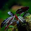 Буцефаландра / Bucephalandra sp. Sekadau narrow, отросток 5 листов.