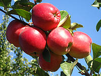 Яблоня Эдера. (Б7-35) Зимний сорт. (с)  , фото 1