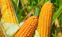 Насіння кукурудзи ДБ Хотин (ФАО-250)