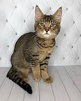 Котёнок Чаузи Ф2 питомника Royal Cats. Мальчик 11.07.18.