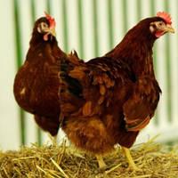 Суточные цыплята кур породы Редбро