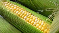 Семена кукурузы Билозирский 295 СВ