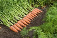 Семена моркови Каскад F1/Cascade F1 (2,0-2,2 мм)( 1 млн. сем.), Bejo, Нидерланды