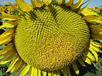 Семена подсолнечника Аркадия ЕС (Гранстар)