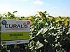Семена подсолнечника Саванна ЕС