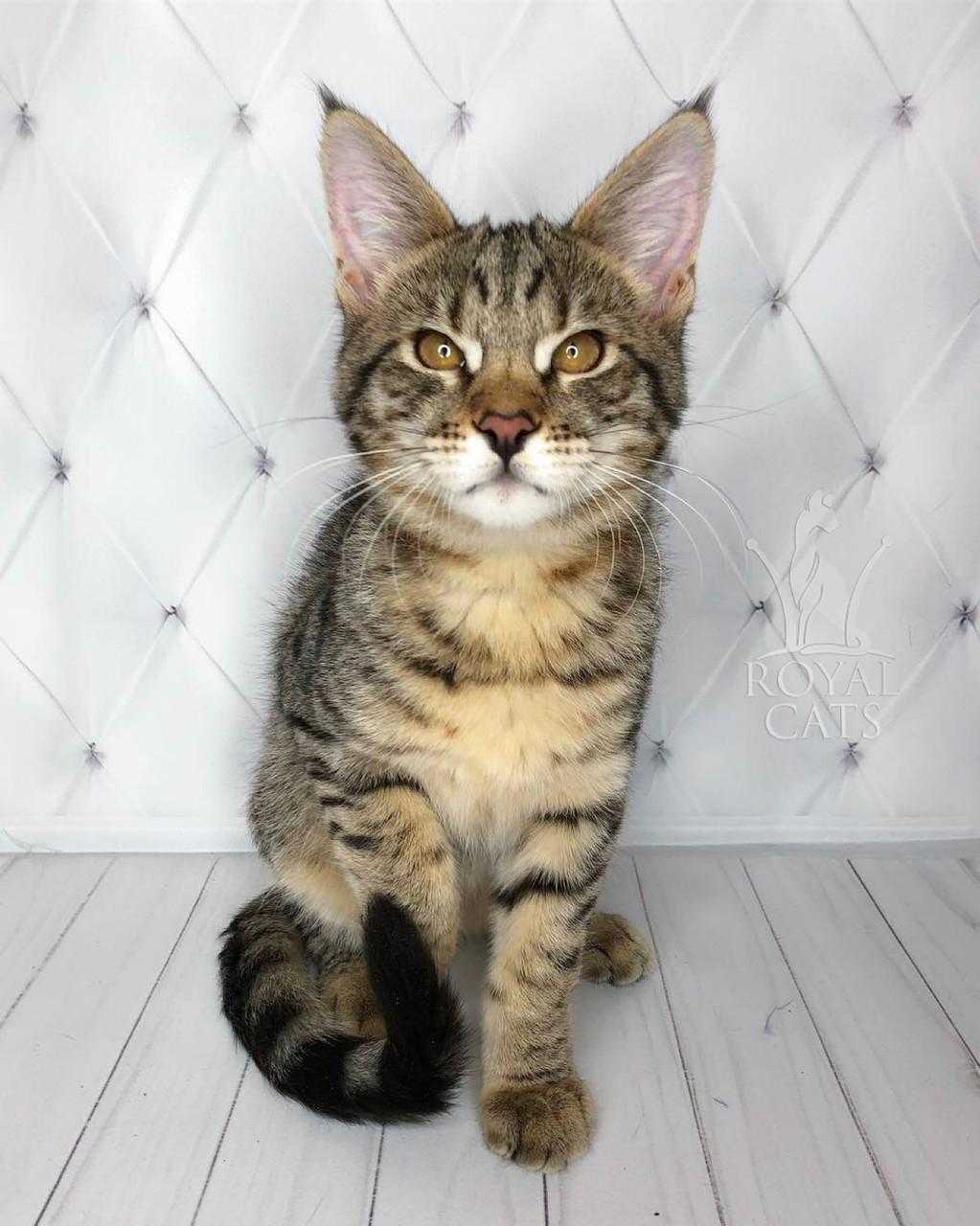 Кошечка Чаузи Ф2 питомника Royal Cats. Девочка 11.07.18.
