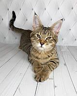 Кошечка Чаузи Ф2 питомника Royal Cats. Девочка 11.07.18., фото 1