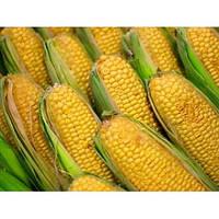 Семена кукурузы АС 33033, ФАО 230