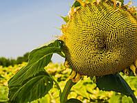Семена подсолнечника Анцилла (Альфа хим групп)