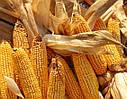 Семена кукурузы Вирджиния