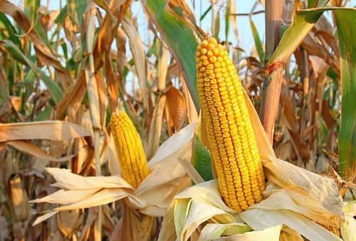 Семена кукурузы Корона