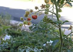 Плодоношение помидоров в теплице