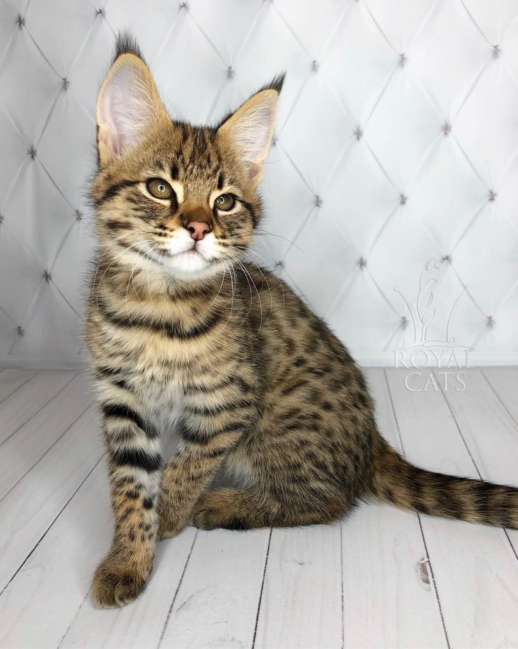 Котёнок Саванна Ф1 (Ашера) питомник Royal Cats. Мальчик Felix 03.08.18.