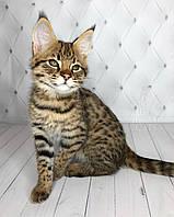 Котёнок Саванна Ф1 (Ашера) питомник Royal Cats. Мальчик Felix 03.08.18. , фото 1