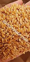 Семена твердой пшеницы ZELMA канадский ярый трансгенный сорт, элита.