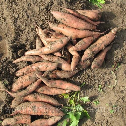 Маточный клубень Батат О'Генри не очень сладкий ранний высокоурожайный устойчивый сорт