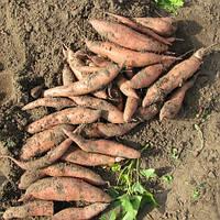 Маточный клубень Батат О'Генри не очень сладкий ранний высокоурожайный устойчивый сорт, фото 1