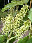 Опыление цветков винограда