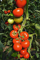 Семена томатов индетерминантных (высокорослых) Томоко F1/Tomoko F1 (1000 сем.), Bejo, Нидерланды